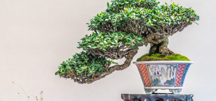 Hwa Fong – shohin bonsai – part 3