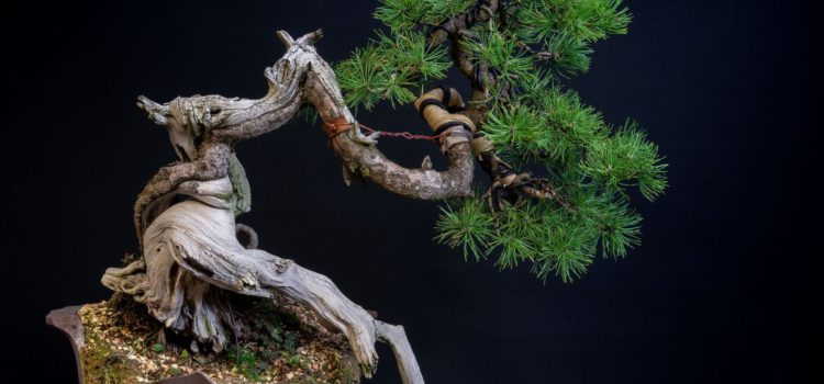 "Pinus mugo ""Swiss-twist"""